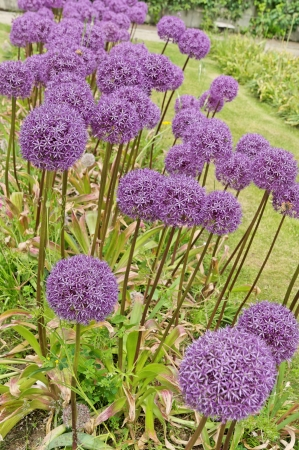 Violet flowers of ornamental onion Globemaster  Stock Photo