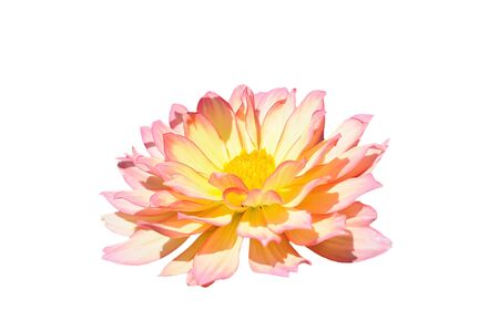 georgina: Pink and yellow Georgina flower isolated on white
