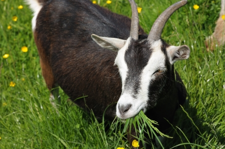 Closeup image of goat eating fresh green grass Stock Photo - 16582204