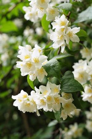 tree jasmine: Flowers of jasmine in city garden Stock Photo