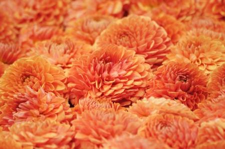 georgina: Orange Georgina flowers arranged as a carpet