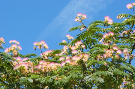 Fabaceae: Blossoming tropical acacia Albizia julibrissin in clear day on blue sky in garden in Brussels, Belgium Stock Photo