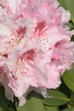 Close-up of pink rhododendron flowers in park in Brussels, Belgium photo