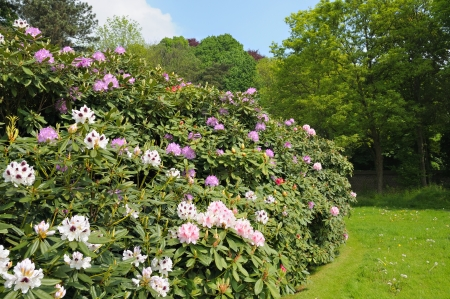 Beautiful rhododendrons in parc in Brussels, Belgium Stock Photo - 16948025