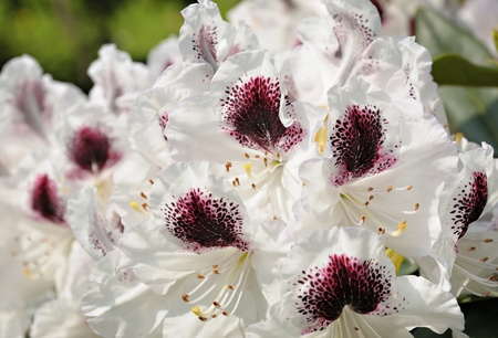 Beautiful white rhododendron in parc in Brussels, Belgium Stock Photo - 16947935