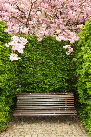 Garden bench under arch created by blossoming kwanzan cherry in Brussels, Belgium photo