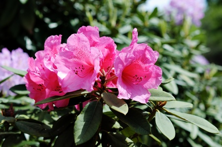 pink rhododendron in park in Brussels Stock Photo - 17107013