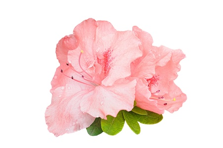 Pink rhododenrdon flowers with rain drops isolated on white Stock Photo - 18538911