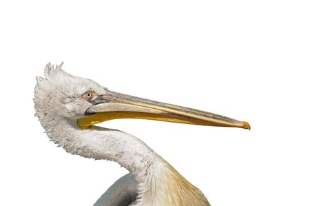 Closeup image of head of dalmatian pelican Pelecanus crispus isolated on white photo