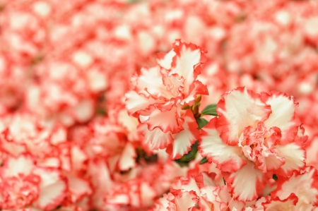 pink and white rhododendron flowers in park photo