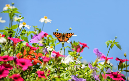 small tortoiseshell on petunia flowers with blue sky photo