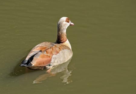 alopochen: Egyptian goose Alopochen aegyptiacus swimming in pond Stock Photo