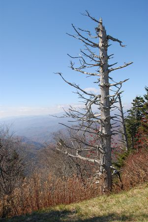 A dead hemlock tree in the Smokey Mountain National Park killed by the hemlock woolly aphid. Without successful intervention, the hemlock woolly aphid is likely to kill most of the hemlock trees in the park.