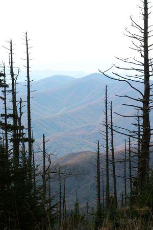 hemlock: Cicuta muertos y moribundos de �rboles en el Parque Nacional de Smokey Mountain, como resultado de la pulg�n de cicuta lanudo. Sin la intervenci�n del �xito, el pulg�n lanudo de cicuta es probable que matar a la mayor�a de los �rboles de cicuta en el parque.