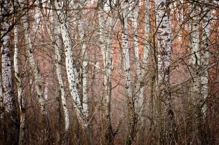 A birch forest in the autumn photo