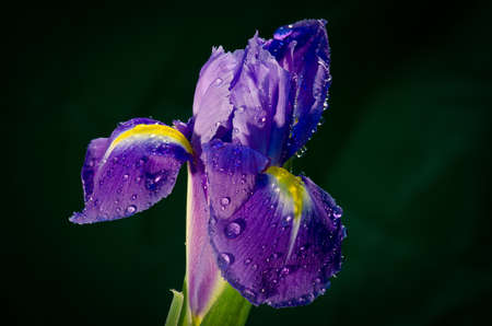 An iris flower with water drops against a dark green background photo