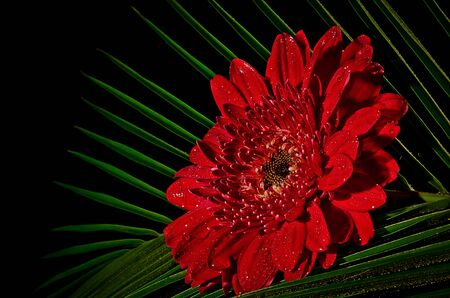 A red gerbera flower against green and black background photo