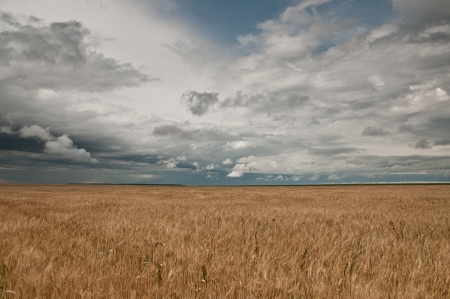 imminent: A wheat field waiting for an imminent storm