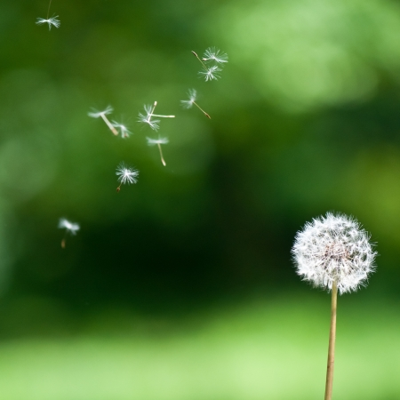 A wind blown dandelion against a green background