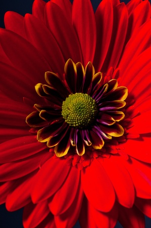 Red daisy against black background photo