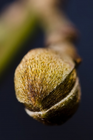Hazel bud macro photo
