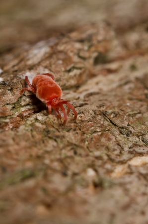 borreliosis: Tick looking for food Stock Photo