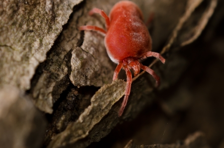 borreliosis: Red tick on a bark Stock Photo