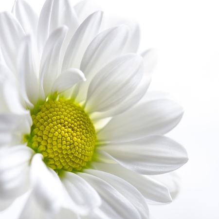 White chrysanthemum against white background photo
