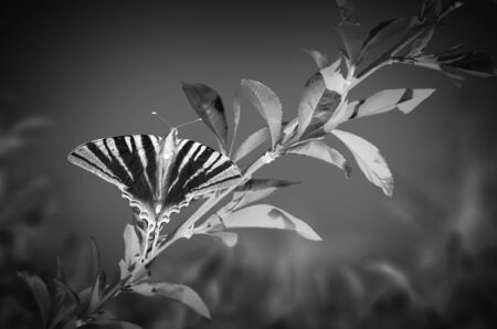 Butterfly on a branch black and white photo