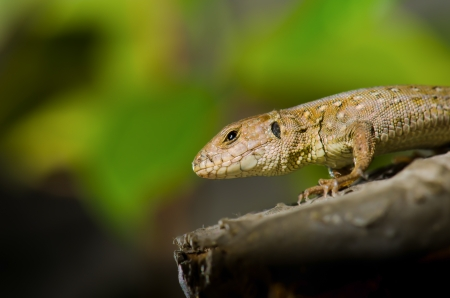Lizard on a branch at the sun