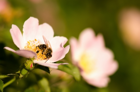 Bee on a wild rose macro photo