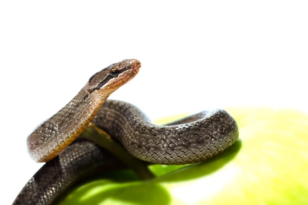 eden: A snake coiled on an apple against a white background