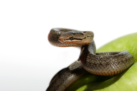 A snake coiled on an apple against a white background photo