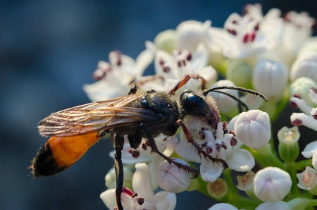 Wasp on white flower in a summer day Stock Photo