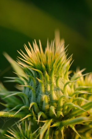 Green thistle against green background photo