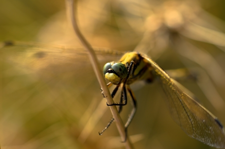 A dragonfly on a strain of wheat photo