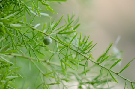 Juniper with a green fruit on summer daylight Stock Photo