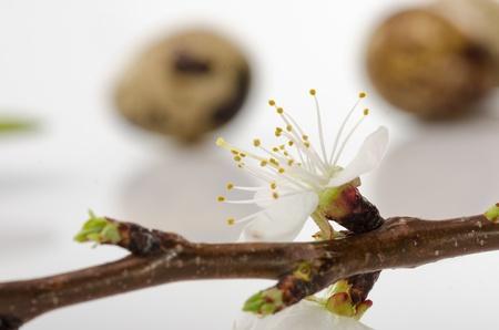 quail egg: Quail egg and an apricot branch blossom