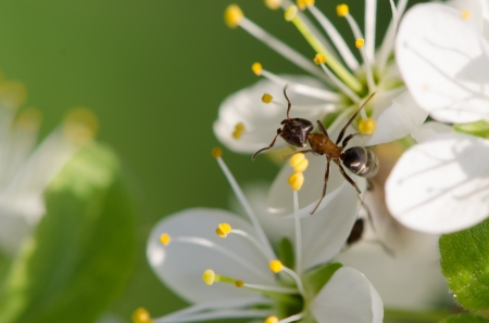 Ant on a blossom white flower close up photo