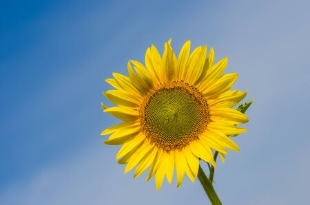 Sunflower against the blue sky photo