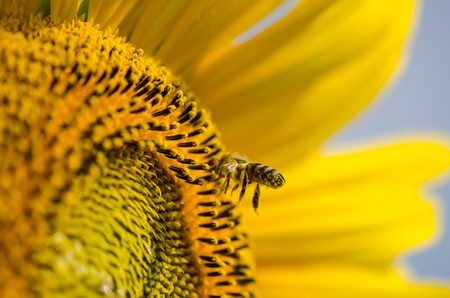 nectar: Bee on sunflower  close-up