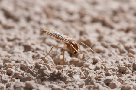 Brown mosquito  on a stone surface