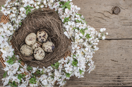 Quail eggs in a nest and plum cherry flowers on wooden surface  photo