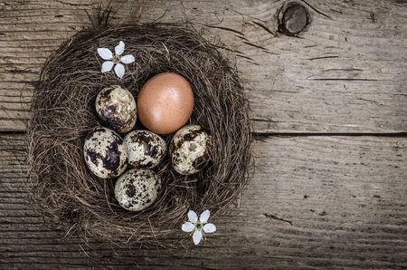Quail eggs in a nest with one chicken egg on wooden surface  photo