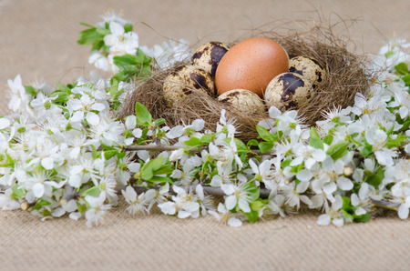 Quail eggs in a nest with one chicken egg and plum cherry flowers on wooden surface side view photo