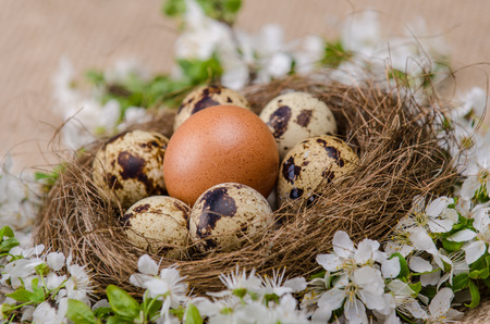 chicken egg: Quail eggs in a nest with one chicken egg and plum cherry flowers on wooden surface side view Stock Photo