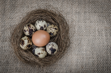 chicken egg: Quail eggs in a nest with one chicken egg  on wooden surface top view