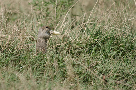 Ground squirrel feeding on stolen food photo