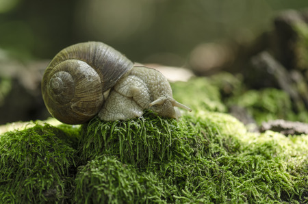 Snail on forest moss against beautiful forest bokeh background photo