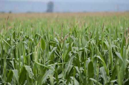 corn rows: Green corn field in the summer sun